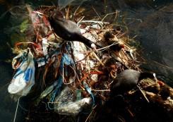 one man's trash ... nesting birds, Canary Wharf U.K.